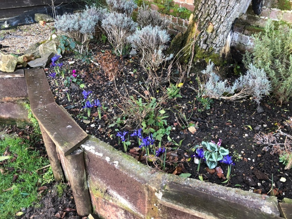 A brick surrounded high flower bed full of dark earth. Some tiny, flame blue irises are just lifting their heads to nod over the edge