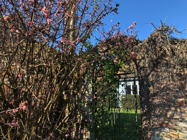 An arched wrought iron gate set into a 17th century brick wall. It is covered in the remains of honey suckle, clematis and jasmine which is just starting to bud. A tree with pink blossom is just above and stands out beautifully against the clear blue sky.
