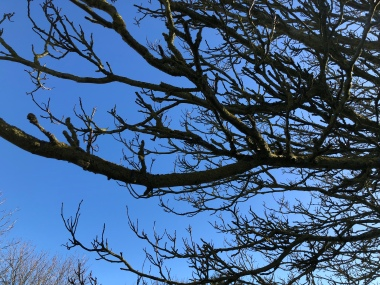 The bare branches of a horse chestnut tree stretch out across a cold crisp blue sky. The light has caught the shiny new buds just starting to appear.