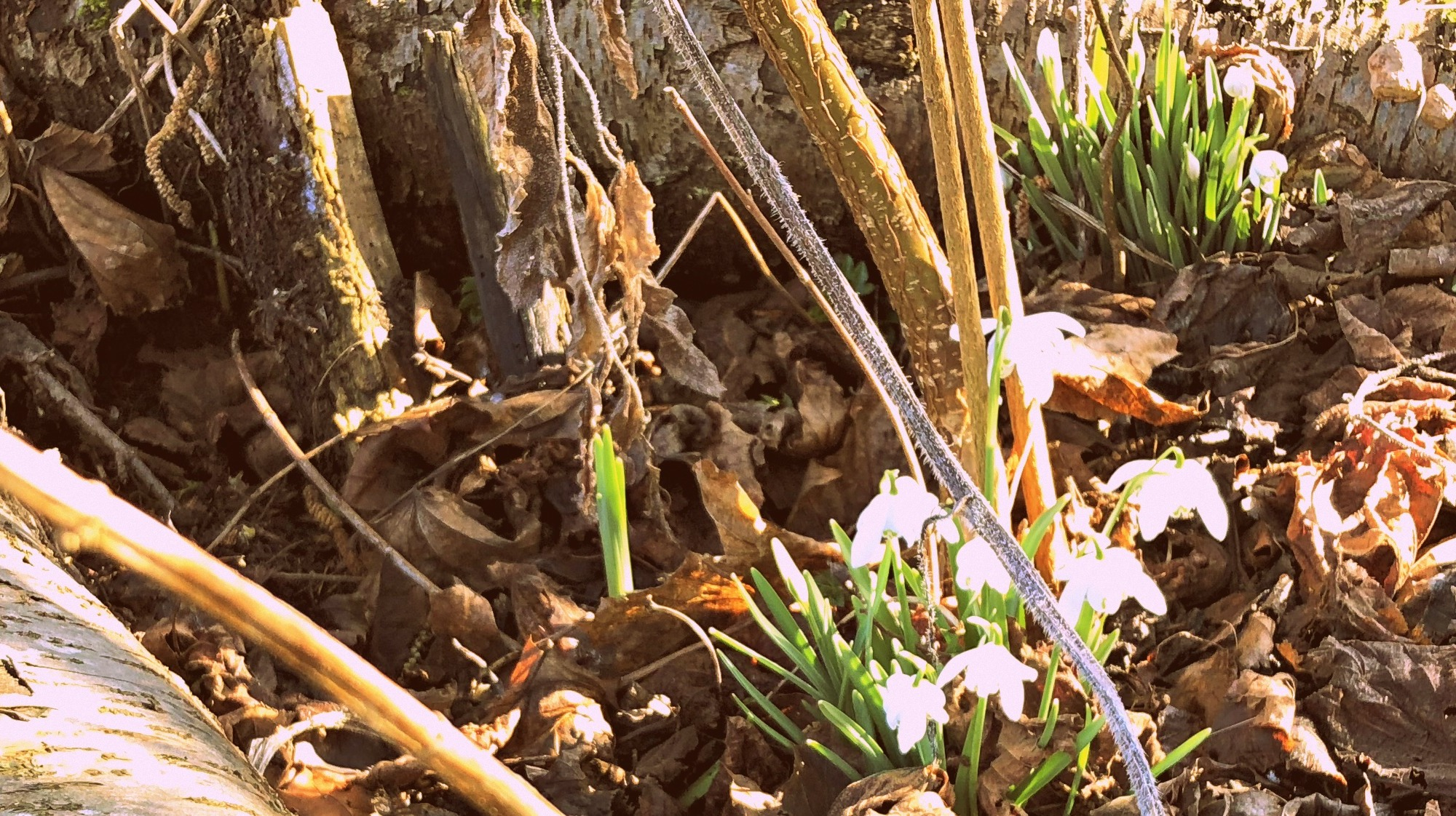 A close up of a woodland bed with tiny, bright which snowdrops peeping through a pile of brown and orange crunchy leaves. A thick, silver barked log lies across the front of the picture.