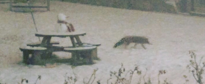 A blurry shot of a fox circling Daughter's snowman which is perched on a table