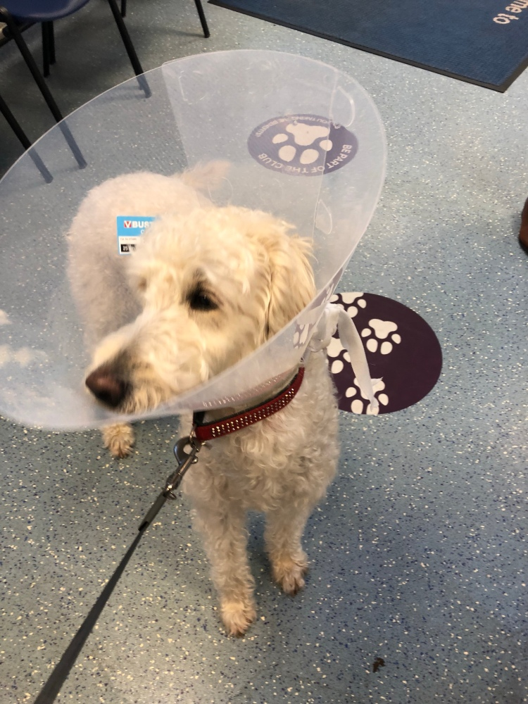 A very unhappy white labradoodle with brown eyes and nose wearing such a giant cone it dwarfs her whole body. Her eyebrows are raised, giving her a look of worried concern.