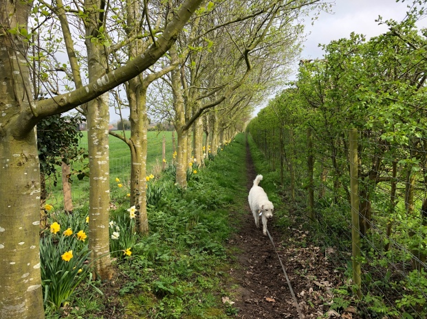 Dog walking down a tree-lined path strung with bright yellow daffodils