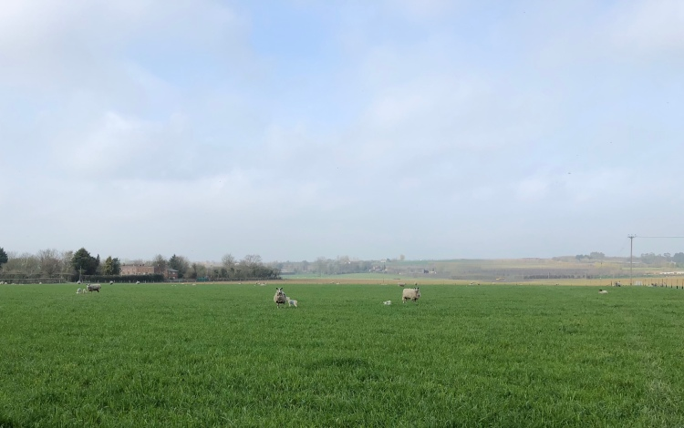 A field containing a sheep with her lambs looking at the camera with suspicion.
