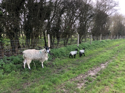 A mother sheep with two lambs. The lambs have black heads and legs