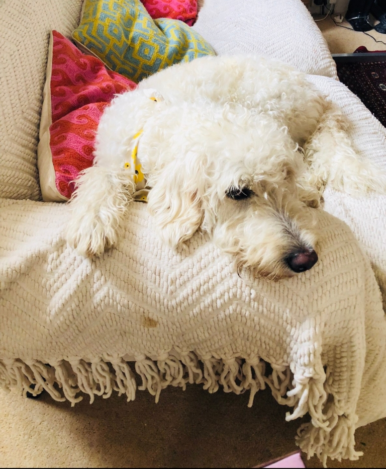 A very hairy dog who looks like a sheep as her coat is so long, looks mournful on a sofa