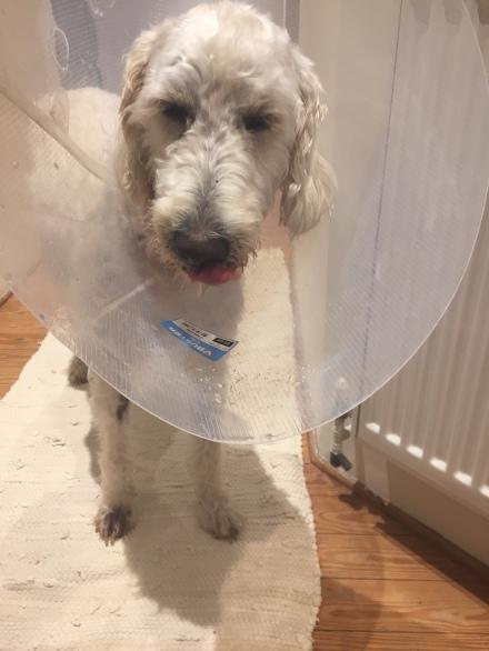 Sad dog in a cone 1