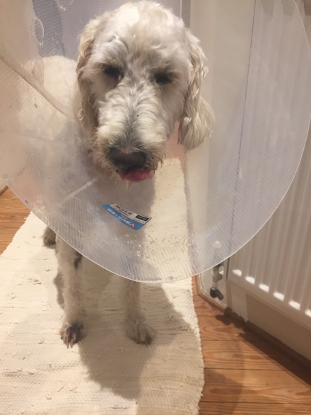 Sad dog in a cone 1