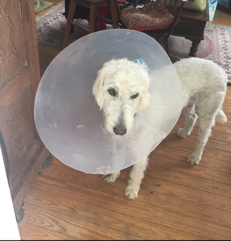 Sad Dog in Cone 2